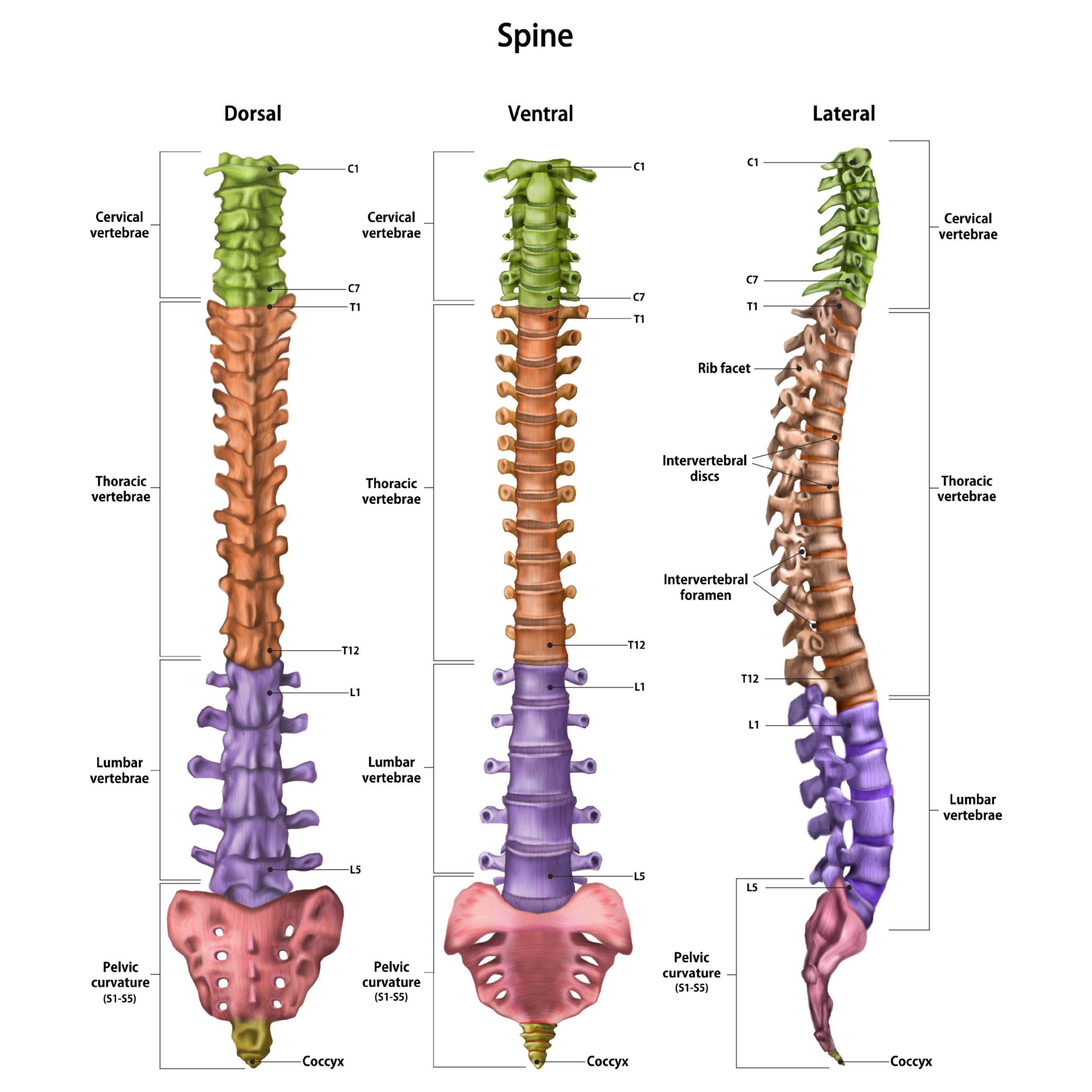 Zdrava hrbtenica vretenca L5-S1, vratna, ledvena hrbtenica vaje, bolečine